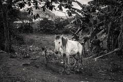 Workhorse (toletoletole (www.levold.de/photosphere)) Tags: cuba fuji kuba x100f viñales sw bw horse pferd trees