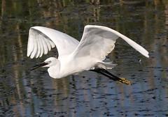 Little Egret in Flight (Mukumbura) Tags: littleegret egrettagarzetta egret bird flight flying rspb hamwall nature wetlands wildlife somersetlevels somerset england white feathers plumage
