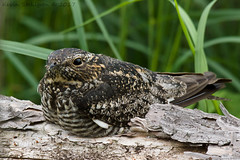 Chordeiles minor (Kevin Stohlgren) Tags: chordeiles minor common nighthawk wisconsin sony a77 70400g sal70400g ssm