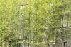 Nijo-jo, 1603-1626 (Anita Pravits) Tags: bambus burg japan kyoto mauer nihon nijojopalast nijojocastle nippon schloss tokugawa bamboo wall