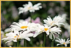 Shasta Daisies (bigbrowneyez) Tags: daisies flowers fiori pure white bokeh dreamy soft nature pretty beautiful lovely petals myfrontgarden miogiardino gorgeous fabulous striking stunning fresh joful delightful precious dof shastadaisies