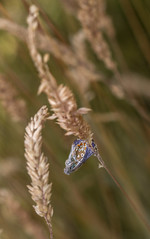 blue.... (markhortonphotography) Tags: grass prey markhortonphotography nature lepidoptera insect deepcut blue lepidoptery wildlife spider thatmacroguy seedhead web surreyheath surrey arachnid macro wrapped butterfly invertebrate
