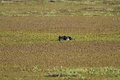 Hidden Hippopotamus (naturalturn) Tags: hippopotamus hippo savanna wateringhole water moremi moremigamereserve okavangodelta okavango delta botswana image:rating=5 image:id=202610