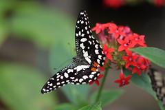 Butterfly (Bri_J) Tags: tropicalbutterflyhouse northanston southyorkshire uk nikon d7200 yorkshire butterfly butterflyhouse