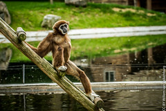 IMG_0417.jpg (wfvanvalkenburg) Tags: ouwehandsdierenpark monkey familie