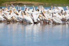 Pelican Cleaning Party (jeff_a_goldberg) Tags: wisconsin bird manitowocharbor nature wildlife pelecanuserythrorhynchos americanwhitepelican lakemichigan manitowoc unitedstates us
