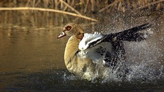 The water dance   ....   Egyptian goose (Hannah 0013) Tags: nature wildlife water canon 500mm egyptiangoose splash duck showingoff raw sunrays5 coth5
