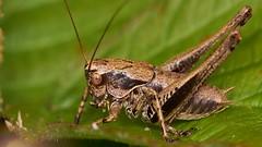 dark bush cricket, male nymph (David_W_1971) Tags: bushcricketdark nt2017 sonyvclm3358