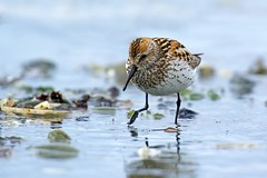 Western Sandpiper (r) (Blingsister-Melanie) Tags: western sandpiper shorebird calidris mauri blingsister melanieleesonwildlifephotography canon pacific ocean canon7dmarkii canonef100400mmf4556lisiiusm14xiii northernvancouverisland