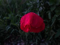 Amapolas del Montsec (efe Marimon) Tags: felixmarimon montsec primavera amapolas canonpowershots120 lluvia