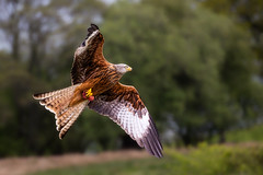 red kite with food (stevehimages) Tags: steve higgins stevehimages steveh nannerth farm wowzers warden wales bird 2017 grandpas grandpasden