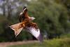red kite with food (stevehimages) Tags: steve higgins stevehimages steveh nannerth farm wowzers warden wales bird 2017 grandpas grandpasden