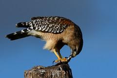 _DSC7809 (2)Red - shouldered Hawk feeding on a corn snake (Nrth Grd Elementary Birder's Club) Tags: hawk redshouldered redshoulderedhawk birdofprey nature florida peacefulwaters audubon education birders birdersclub cornsnake prey