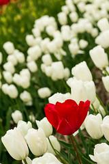 IMG_2368 (kattwyllie) Tags: flowers tulips nature landscape mountains bc britishcolumbia canada abbotsford tulipfestival flowerfestival abbotsfordtulipfestival canon50mm canonphotography naturephotography travel canadaphotography bcphotography mountainphotography landscapephotography macrophotography