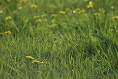 (Schuyler H. Miller) Tags: field dandelions green grass flower plant nature spring