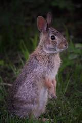 Alert (marensr) Tags: eastern cotton tail rabbit bunny nature mammal animal