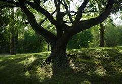 the tree (Amselchen) Tags: light shadow bokehpanorama bokeh dof depthoffield plants season summer sony alpha7 samyang 85mmf14