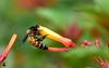 Bee on flower (rajnishjaiswal) Tags: bee beeonflower beemacro honeybee macro flower petals stamen leaves red orange nature beautifulnature nectar garden park wildlife