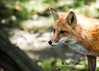 American Red Fox - Explored (Silva's Aragorn1229) Tags: outdoor redfox fox nature animal wildlife explored americanredfox portrait watching staring