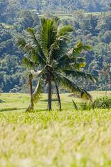 IMG_0598 (Ela&Piotr) Tags: bali indonesia indonezja jatiluwih ricefields