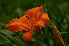 Orange Day Lily (deanrr) Tags: earthpark hartsellealabama alabama nature outdoor orange orangeflower bokeh daylily flower bloom
