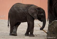 Madiba, ruim een jaar oud (ditmaliepaard) Tags: madiba olifant safaripark beeksebergen hilvarenbeek a6000 sony