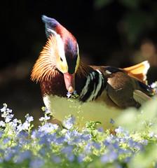 mandarijneend Krefeld JN6A0742 (joankok) Tags: duck mandarijneend eend mandarinduck krefeld vogel bird