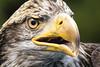 TRC Eagle 17.1 (Jason Blalock) Tags: grandtetonnationalpark grandtetonsnationalpark grandteton grandtetons nationalpark nationalparkservice nps tetonraptorcenter trc bird birdofprey avian raptor eagle baldeagle haliaeetusleucocephalus americanbaldeagle americaneagle