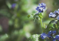 (Barbara.K) Tags: nature flower dof differentialfocus forgetmenot canonrebelt1i canon500d canonefs55250mm alienskinexposure