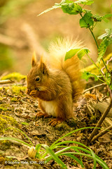 Red Squirrel IOW (SLHPhotography1990) Tags: 2017 bembridge brading marsh may nikon sophs centurians copse red squirrel isle wight wild wildlife