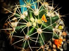 Cactus Closeup Los Angeles Cactus & Succulent Society Plant Show & Sale 2017 (lacactus.com) Spent an hour or so at the show on Saturday checking out all the great vendors and plants. #cactus #succulents #garden #plants #nature #LA #losangeles #california (dewelch) Tags: ifttt instagram cactus closeup los angeles succulent society plant show sale 2017 lacactuscom spent an hour or saturday checking out all great vendors plants succulents garden nature la losangeles california iglosangeles losangelesgram whereamila instalosangeles caligrammers lagrammers losangelesgrammers discoverla conquerla unlimitedlosangeles californiacaptures uglagrammers iggarden flowersofinstagram flowerstagram treestagram rainbowpetals plantstagram