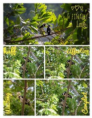 A Fictional Love Story! (CuriousClickZ) Tags: fickr birding birdwatching dhakagram beautifulbangladesh canoneos70d lightroom collage scenery nopeople beautiful sweet cute outdoor nature storytelling story pair love bird