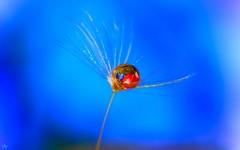 Dandelion (3213) (YᗩSᗰIᘉᗴ HᗴᘉS +6 500 000 thx❀) Tags: drop dandelion macro 7dwf blue red hensyasmine water saariysqualitypictures