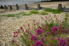 sleepy on the beach (quietpurplehaze07) Tags: beach valerian breakwater shingle pink flowers whitstable
