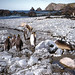 Macquarie. King penguins