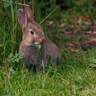 The rabbit @ Alblasserwaard