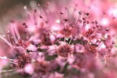 Macro [180/365 2017] (steven.kemp) Tags: flower pink poundland garden nature macro bokeh dof close stamen petal plant abstract 365 project