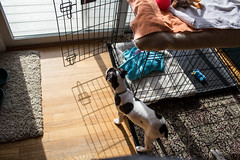 Shadows and Dooley (marylea) Tags: apr22 2017 spring dooley parsonrussellterrier parsonrussell dog puppy prt jrt jackrussellterrier jackrussell terrier 15weeksold
