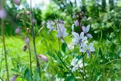 Wild beauties (pawannee) Tags: 2017 slovenia unknownspecies matavun sunny blossom flower wildflower wildflowers wildblumen
