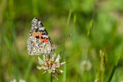 Belle Dame (JeanJoachim) Tags: belledame vanessacardui lepidoptera nymphalidae paintedlady distelfalter pentaxk5ii smcpentaxda300mmf4edifsdm