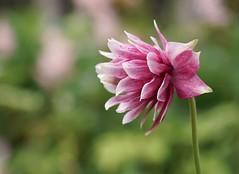 Douce détente (M. Carpentier) Tags: macromonday relaxation détente soft softness fleurs fleur green vert pink rose