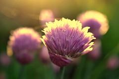 quiet courage (joy.jordan) Tags: chives color texture spring light bokeh nature hope flower