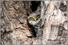 7001 -camouflage (chandrasekaran a 40 lakhs views Thanks to all) Tags: camouflage spottedowlet owlet birds nature india chennai canon60d tamronsp150600mmg2