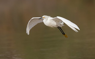 Snowy Egret coming in Gilbert water ranch az
