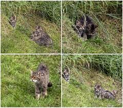 Scottish wildcat kittens (hisdream) Tags: scottishwildcat kittens bwc nature