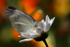 Cabbage Butterfly (Johnnie Shene Photography(Thanks, 2Million+ Views)) Tags: cabbagebutterfly whitebutterfly commonbutterfly butterfly frontview highangle depthoffield feeding head nature natural wild wildlife livingorganism tranquility adjustment fulllength feeler perching resting awe wonder interesting photography horizontal outdoor colourimage fragility freshness nopeople foregroundfocus korea asia wings limbs daisy flower animalandplant pierisrapae pieris animal insect bug macro closeup magnified perspective bokeh behaviour spring day daylight blur canon eos80d 80d tamron 90mm f28 11 lens 배추흰나비 흰나비 나비 곤충 접사 매크로