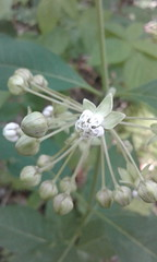 Asclepias exaltata (tammoreichgelt) Tags: apocynaceae flower inflorescence milkweed poke tall dupont state forest