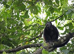 Howler Monkey (Jake M. Scott) Tags: mammal monkey mono howler howlermonkey nature outside outdoors outdoor costa rica ecology jakescott hominid calling howling puravida heredia alouatta