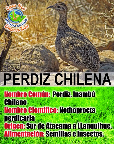 perdiz chilena