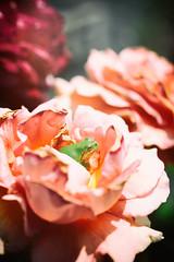 Rose 26 (lakeside_cat) Tags: rose pink pinkrose red frog animal japanesetreefrog バラ 薔薇 ばら ピンク カエル アマガエル
